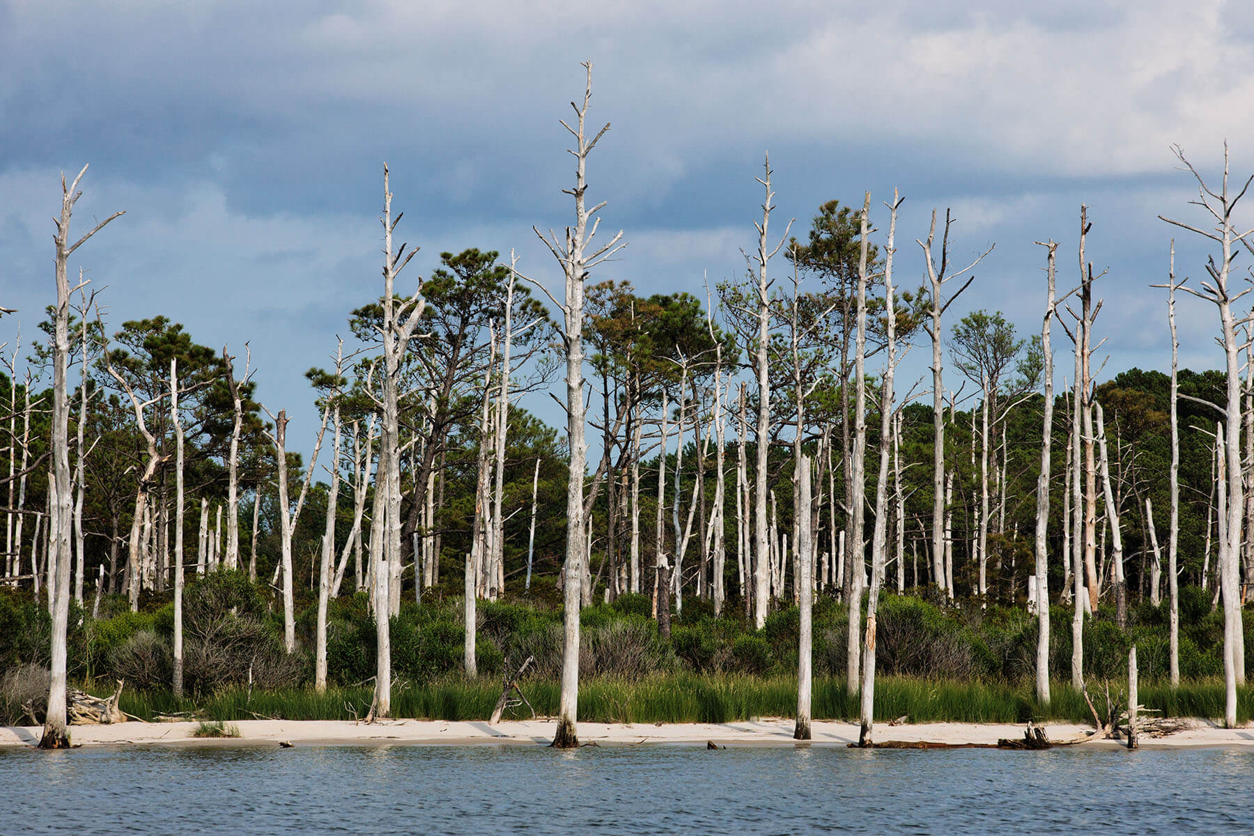 A ghost forest of loblolly pines on Deal Island.