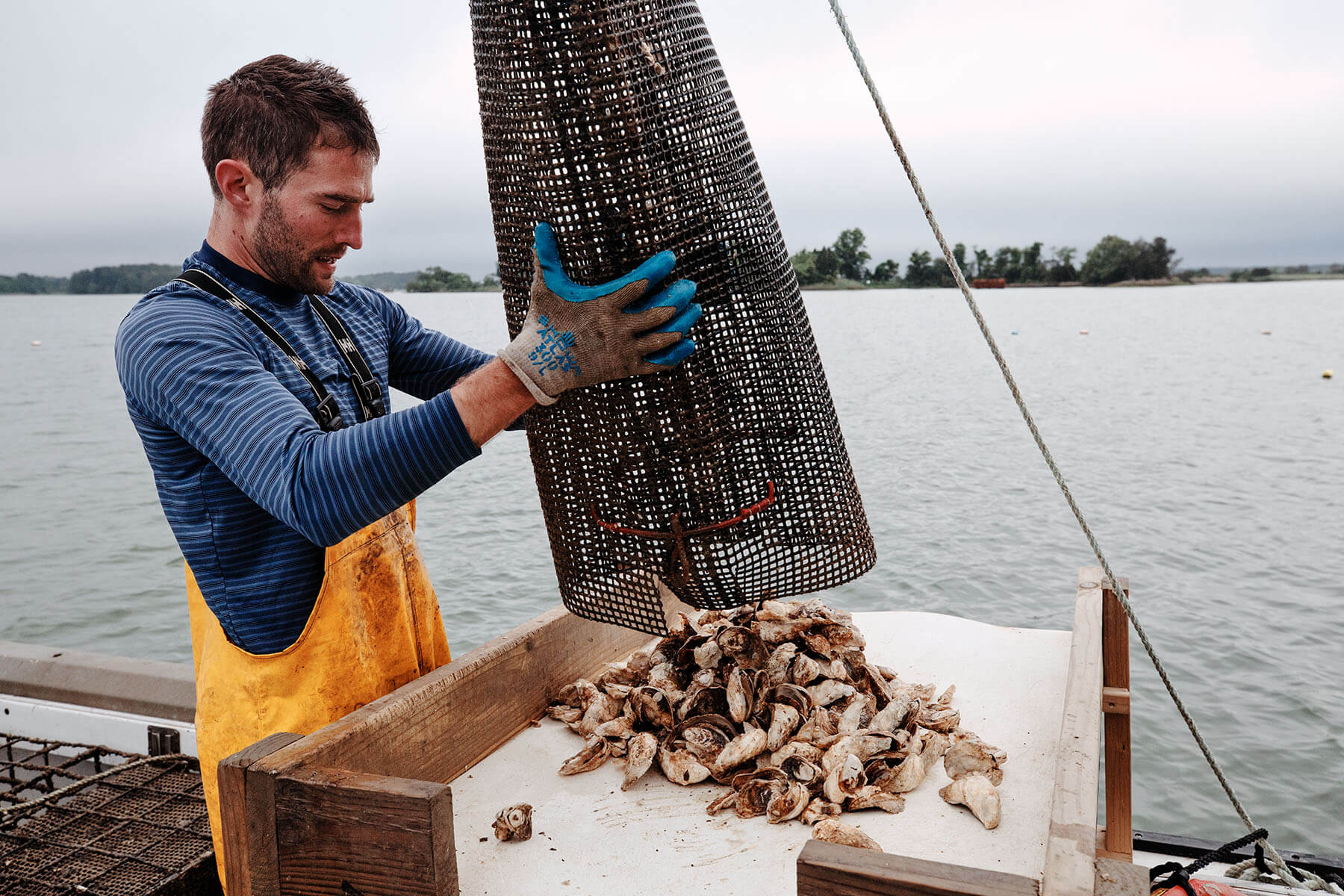 Aquaculture farmer dumps oysters from his net.