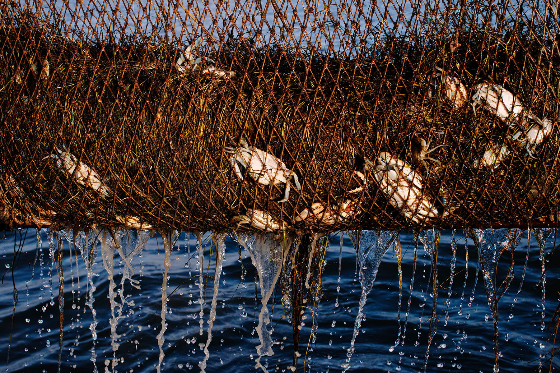 A harvest of crabs dumps from a net.