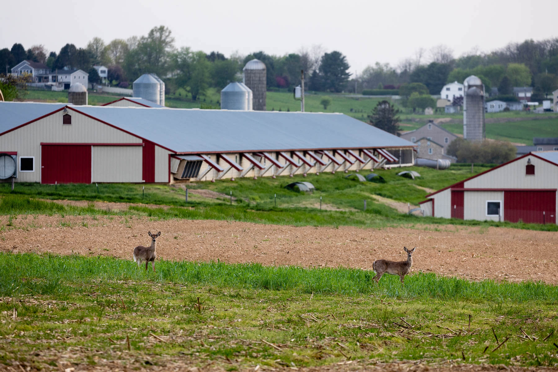 Deer visit farm fields near chicken houses surrounded by open countryside