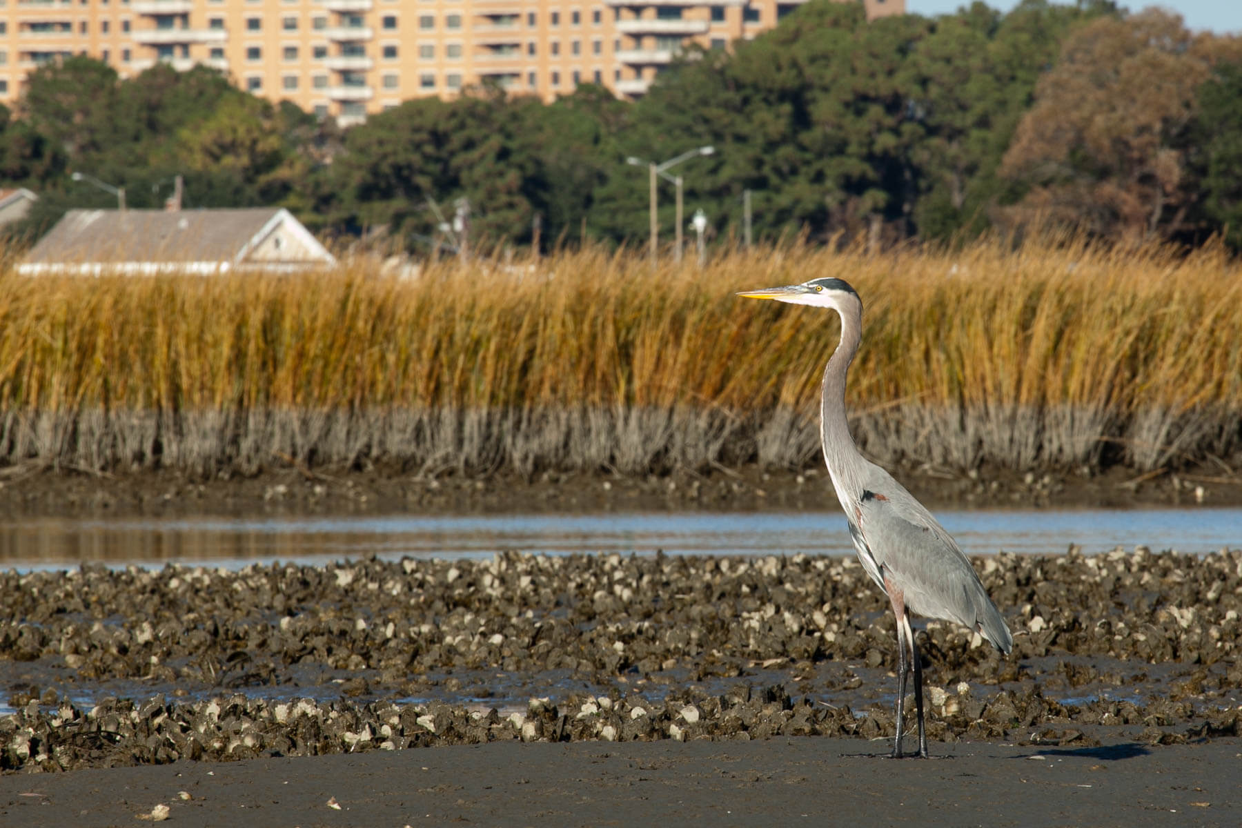 A tall bird (great blue heron) wades through exposed oysters