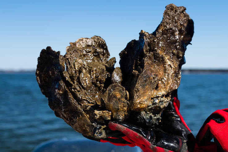 Picture of Ten places where we're restoring oyster populations
