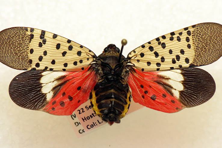 Picture of The lanternfly effect