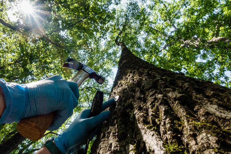 Picture of Invasive insect poses unprecedented threat to urban forests