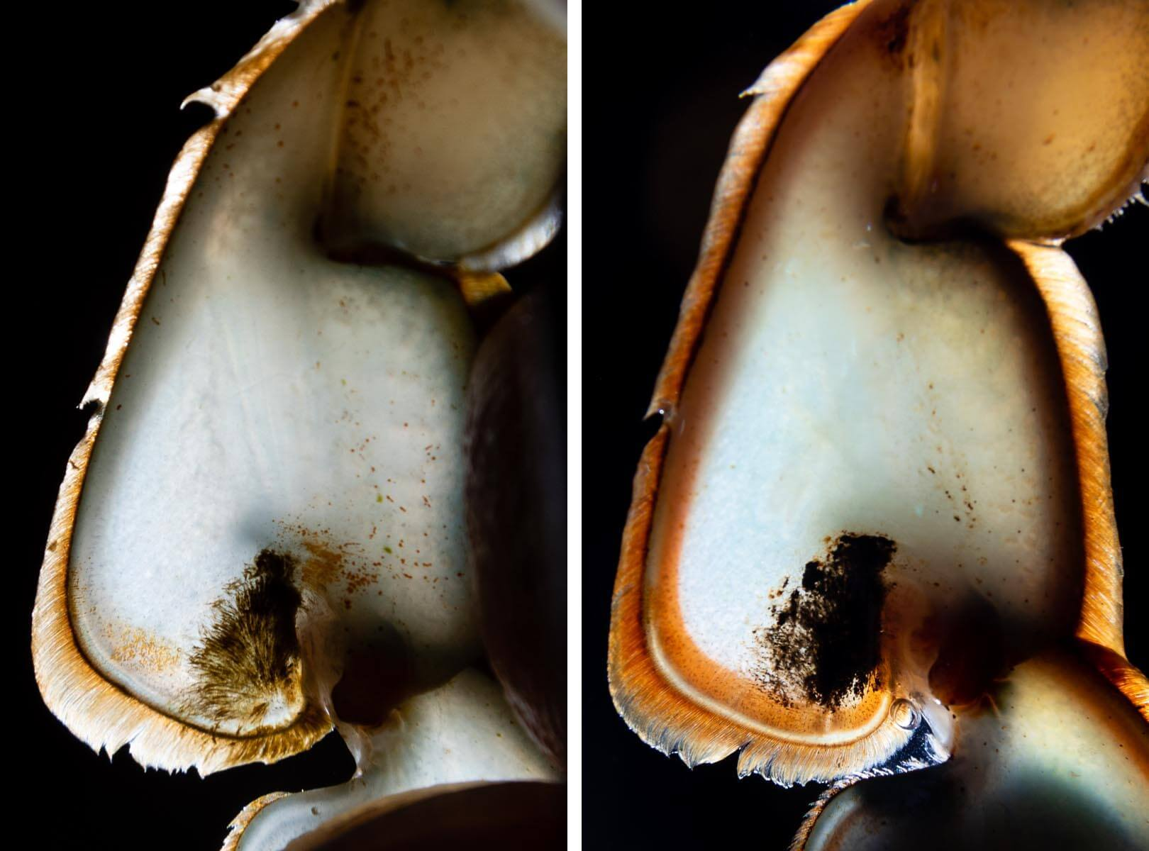 The blue area inside the edge of a crabs swimming fin turns thinly white, deepens to pink and then red in the days before it molts.