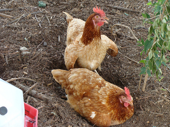 Two chickens run through Eco City Farms.