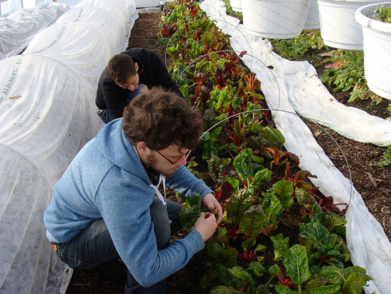 Volunteers and staff harvest veggies growing inside of a hoop house.