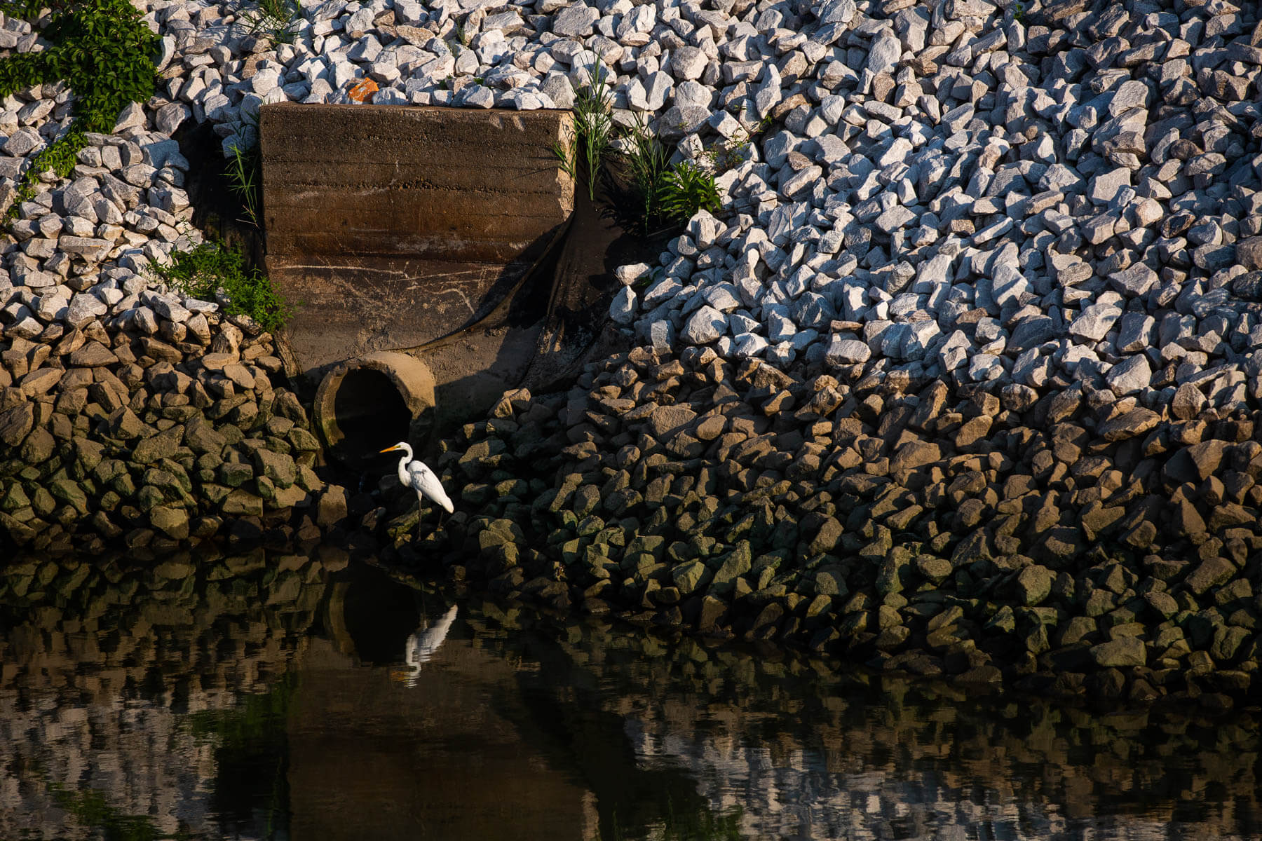An egret stands next to a drain pipe in the Tiny Mill Canal.
