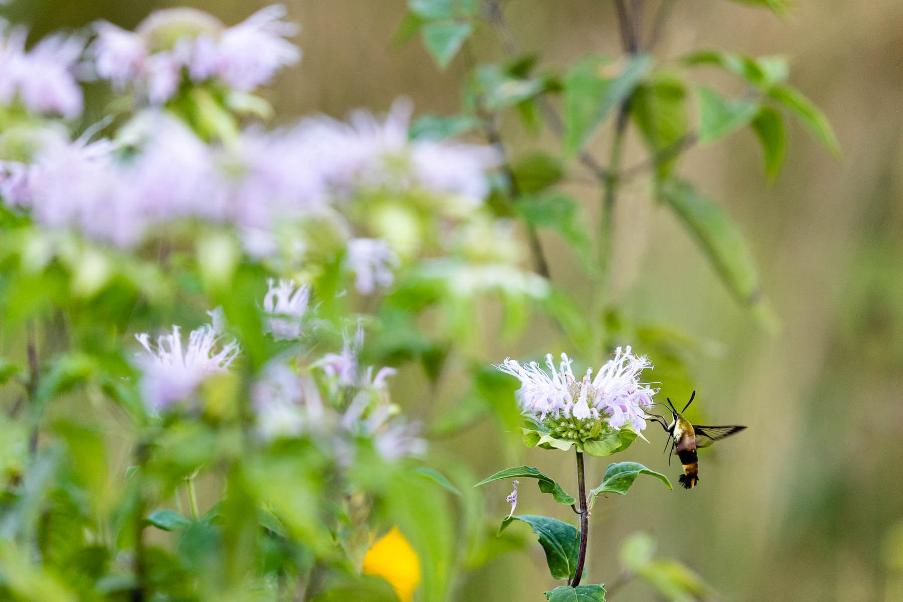 Snowberry clearwing moth with flower.