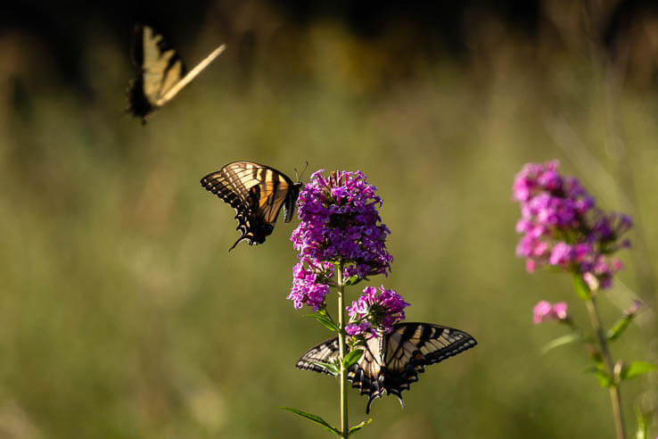 Picture of Pennsylvania makes strides to protect its pollinators