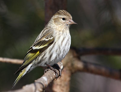 Pine siskin photo courtesy Cephas/Wikimedia Commons