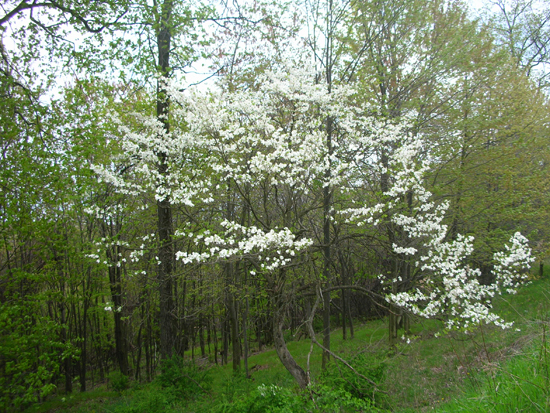 young forest in spring