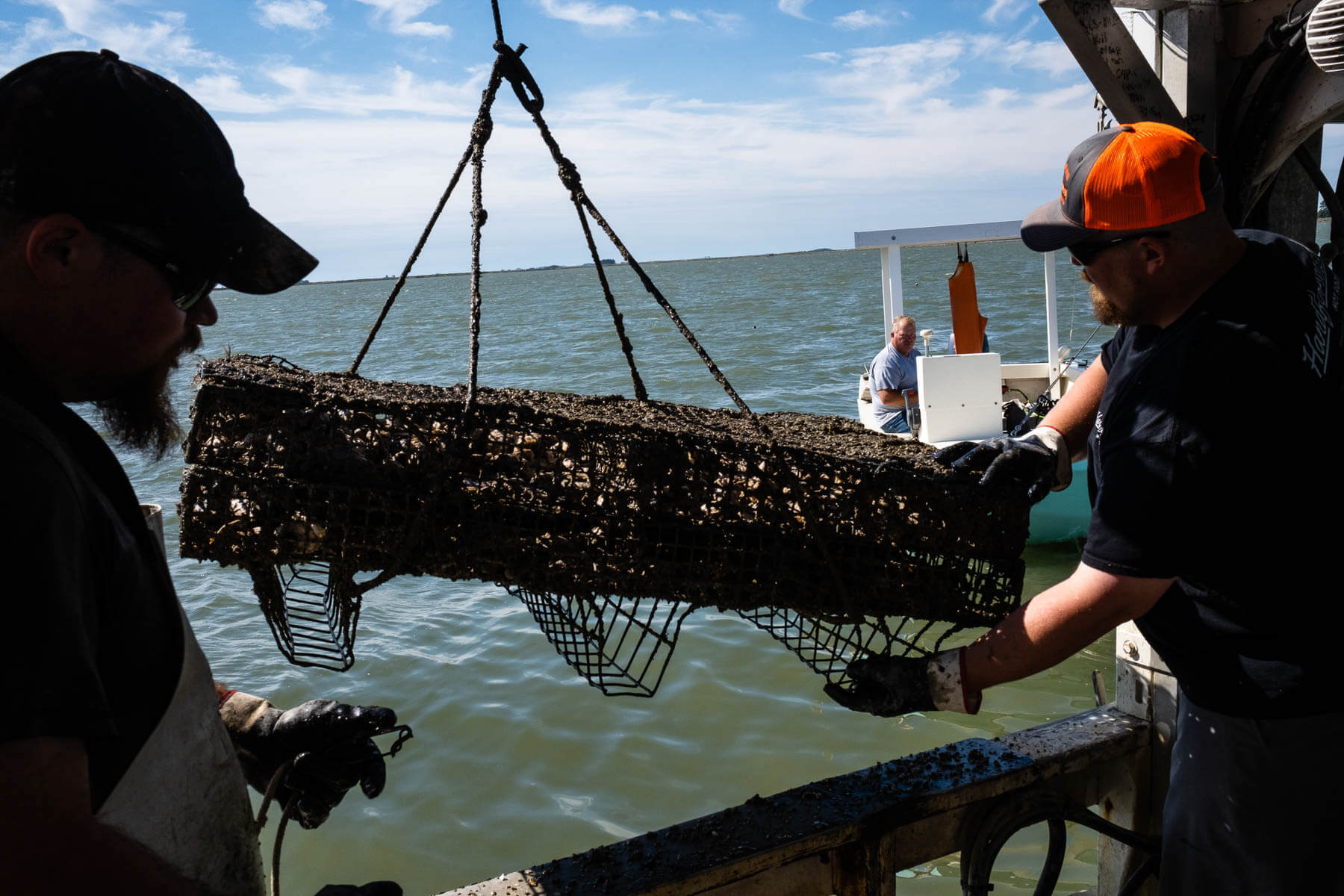 Two oyster farmers pull a bed of oyster from the water.