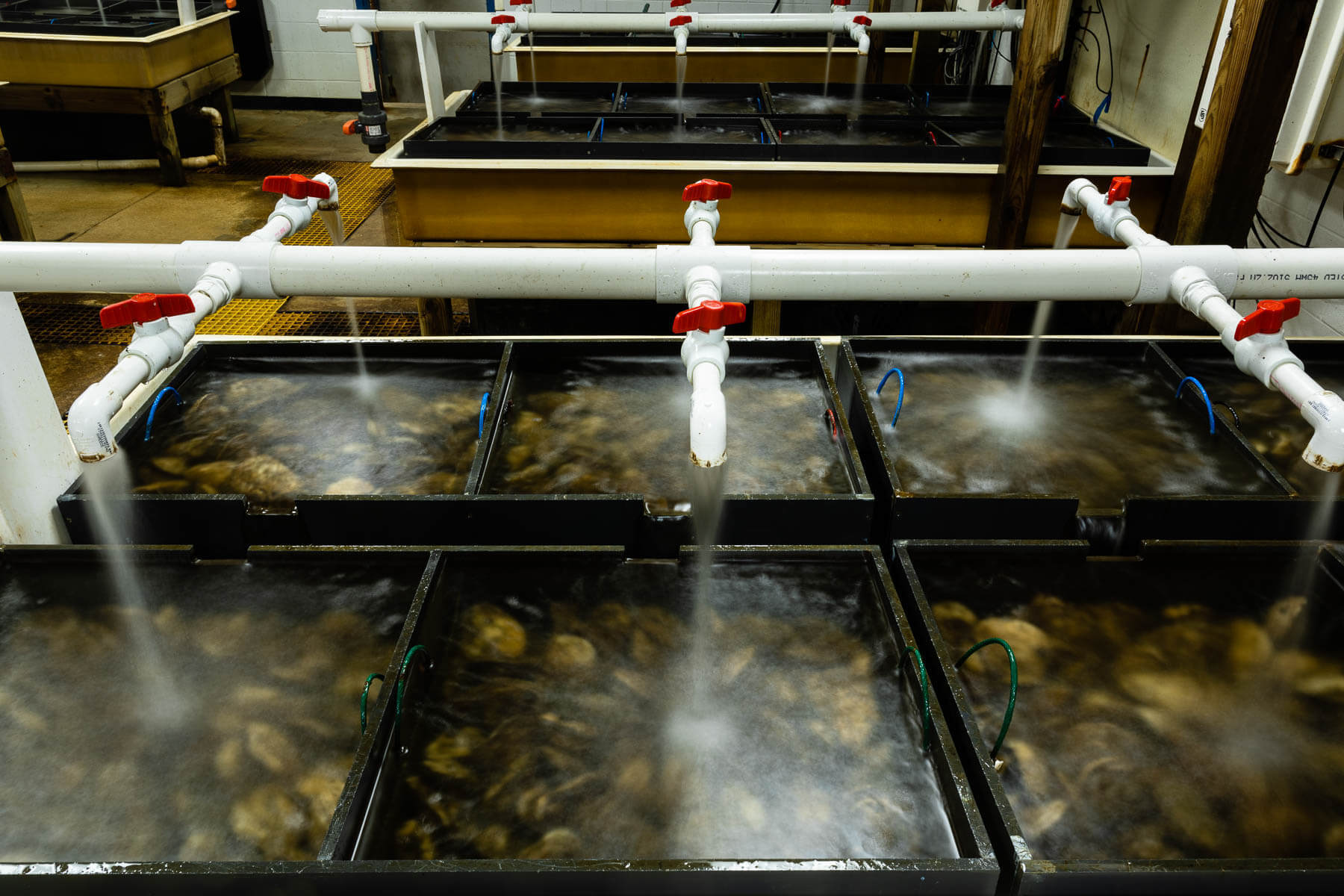 Oysters in containers at Horn Point Laboratory Oyster Hatchery.
