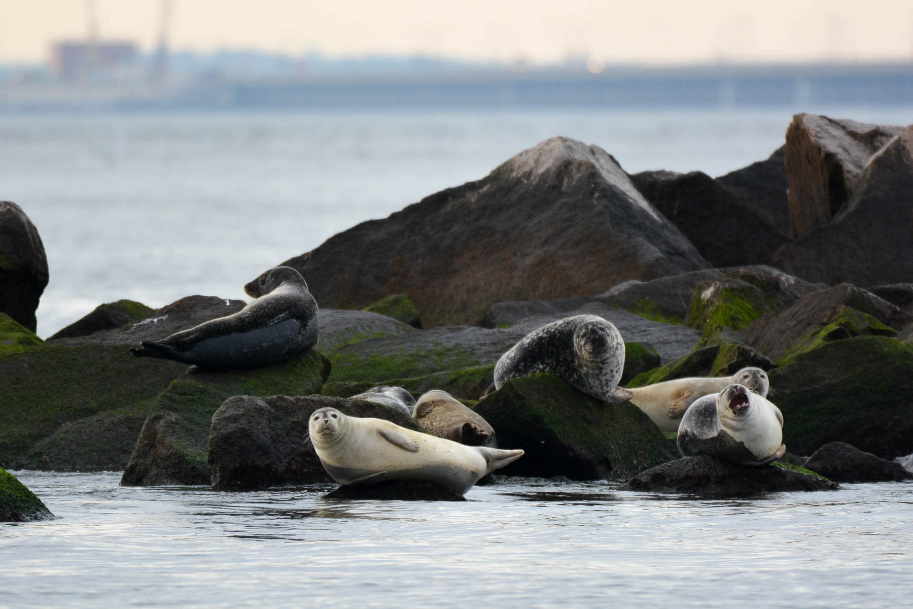 Harbor seals are becoming a regular highlight of winter in the Chesapeake Bay | Chesapeake Bay Program