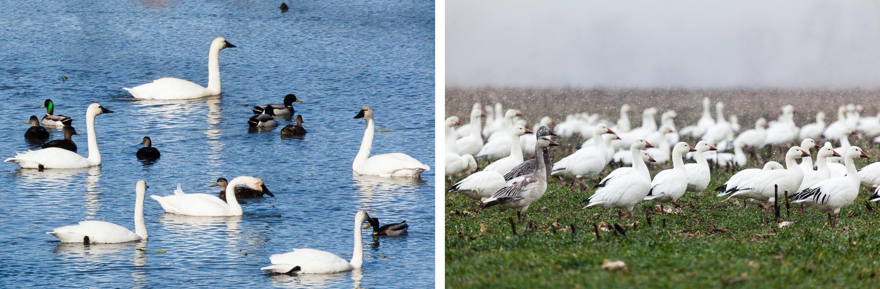 LEFT: Tundra swans gather with black ducks and mallards at Crow's Nest Nature Preserve in Virginia. RIGHT: Snow geese flock to a farm field on Maryland's Eastern Shore.