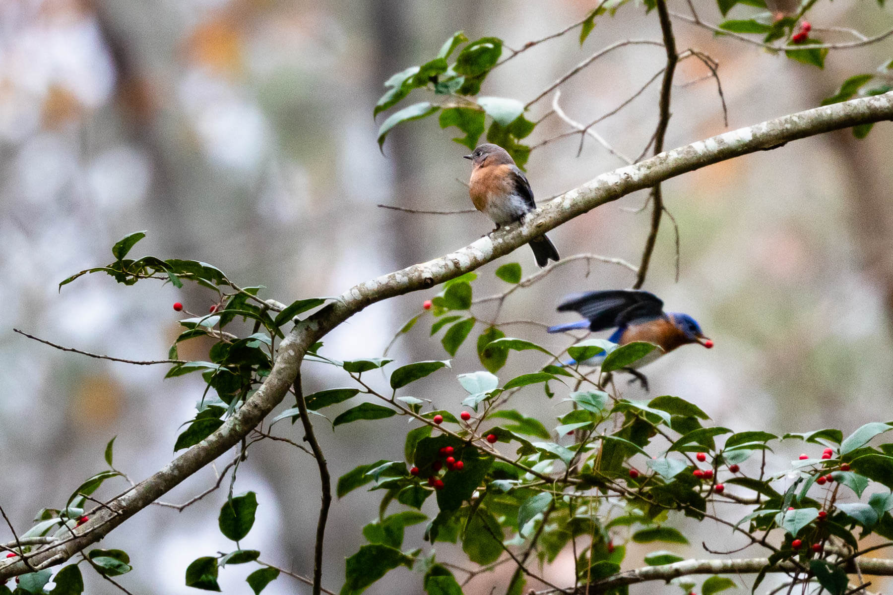 Eastern blue birds forage for berries in a tree.