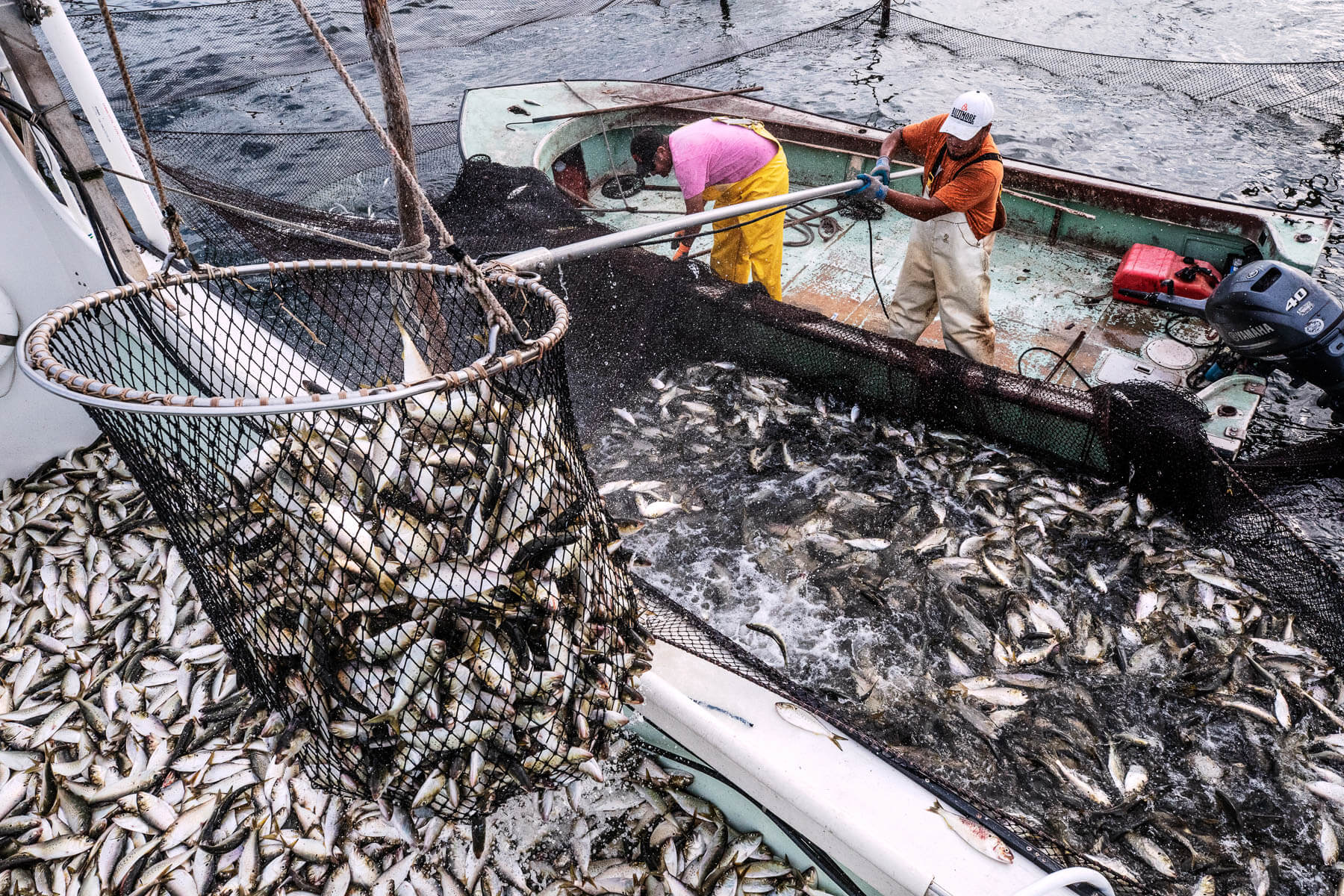 A load of fish transfers between boats