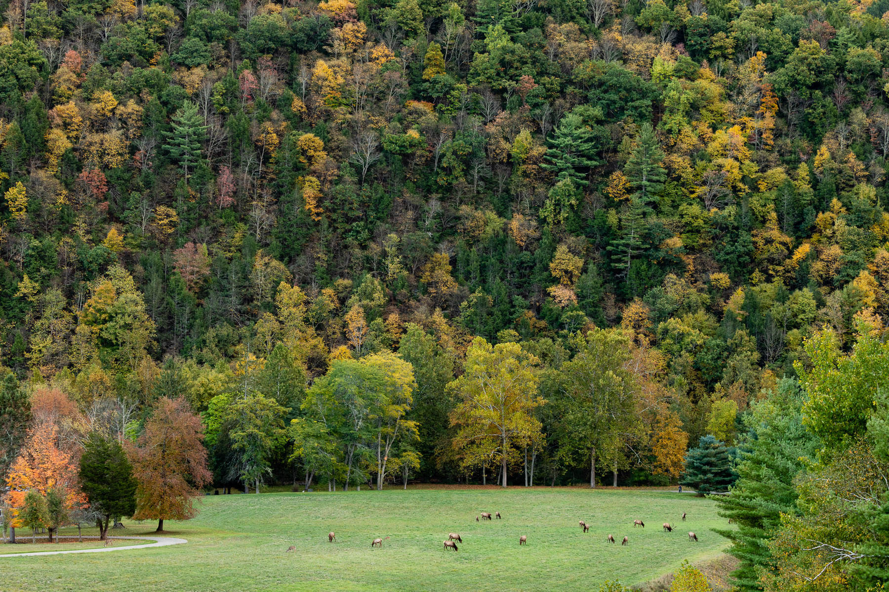 Elk with forest surrounding