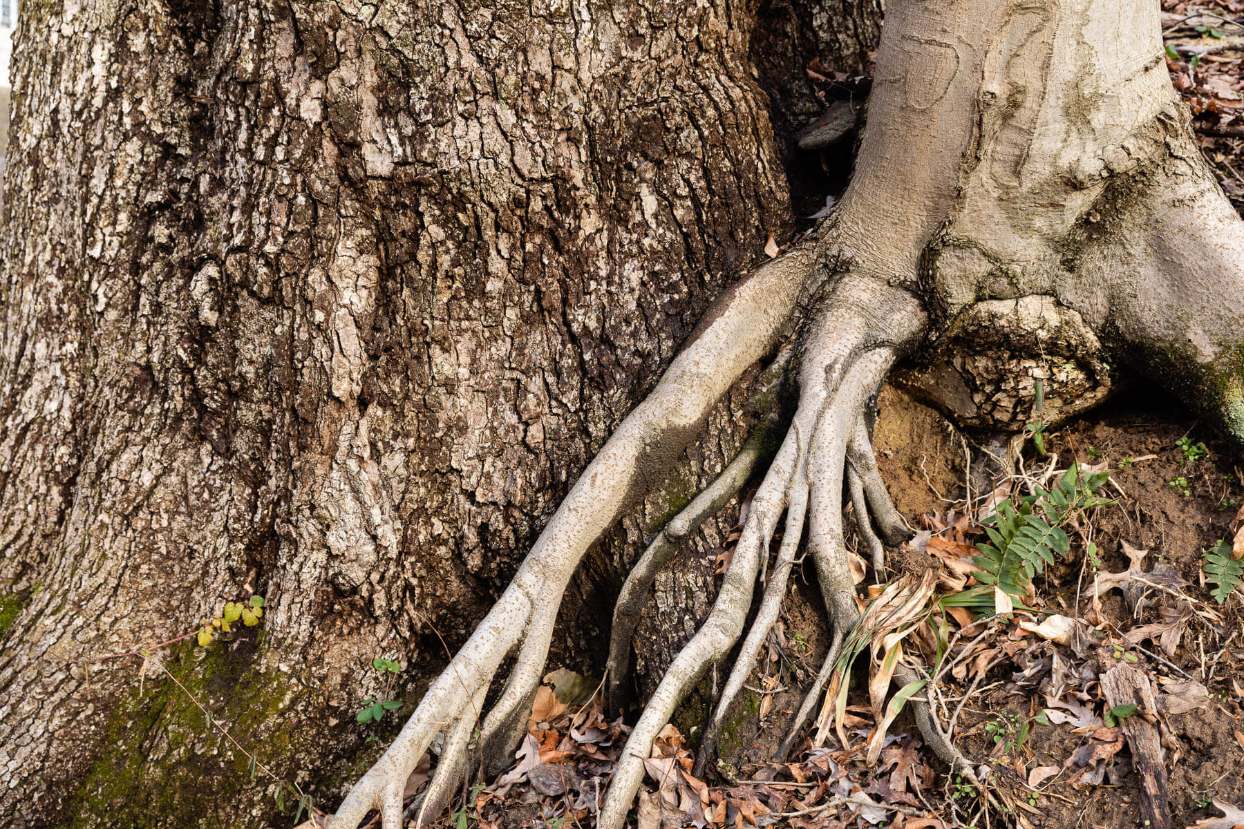 The roots of a smaller tree overlap with the base of a larger one.