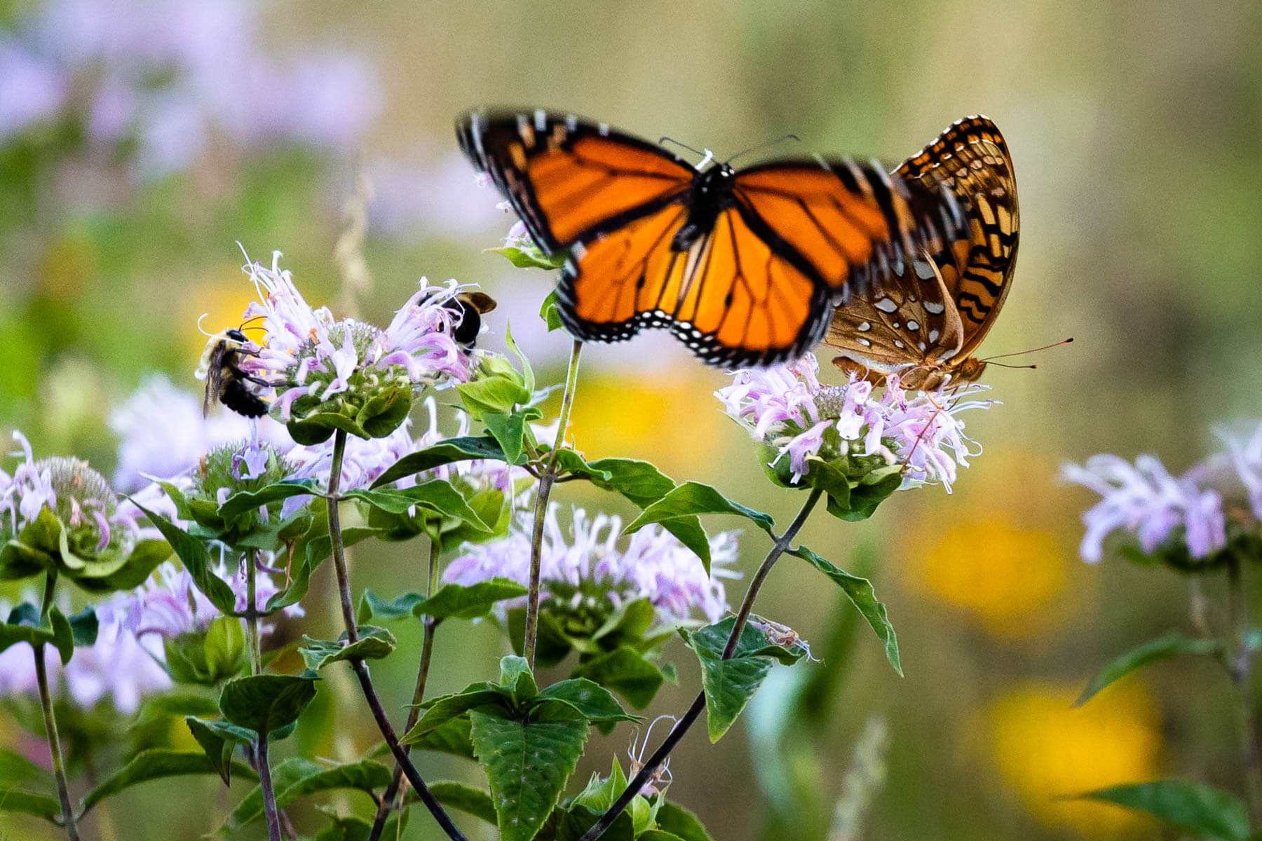 Pollinators are attracted to blooming native wildflowers