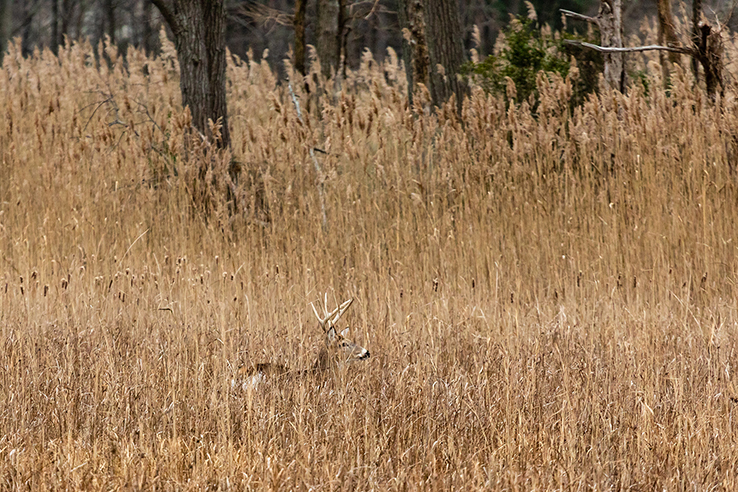 Picture of Getting into the weeds of deer management