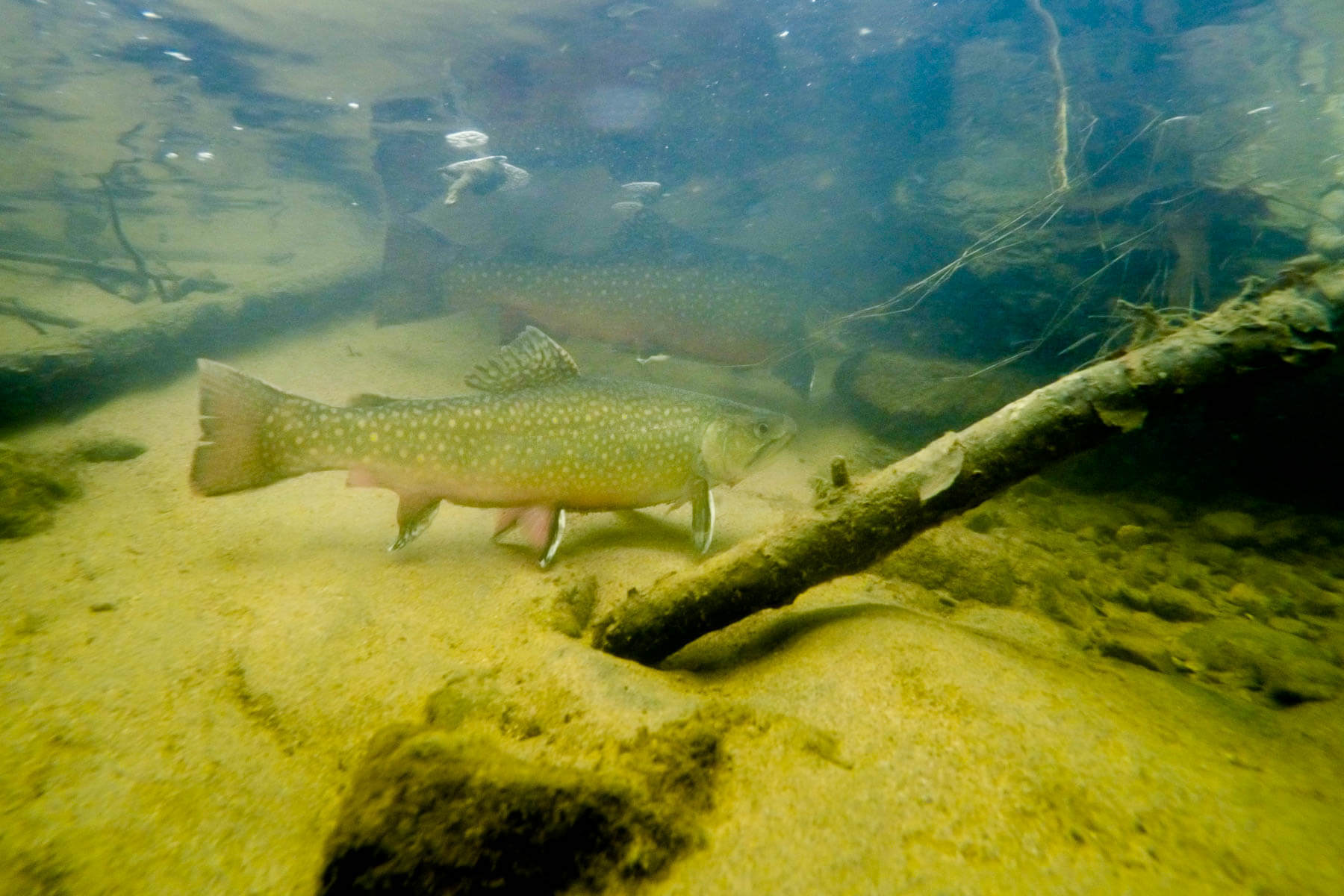 Brook trout in Piney Run
