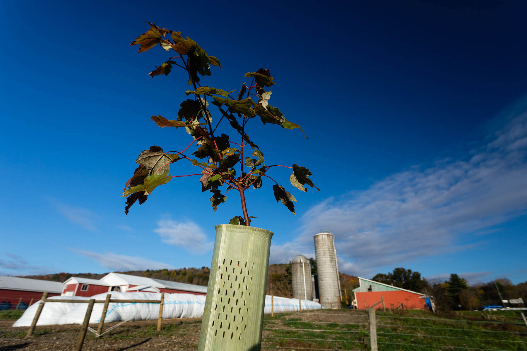 A sapling in front of farm buildings