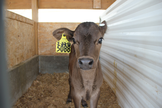 A baby calf in its stall on Brubaker's Farm.