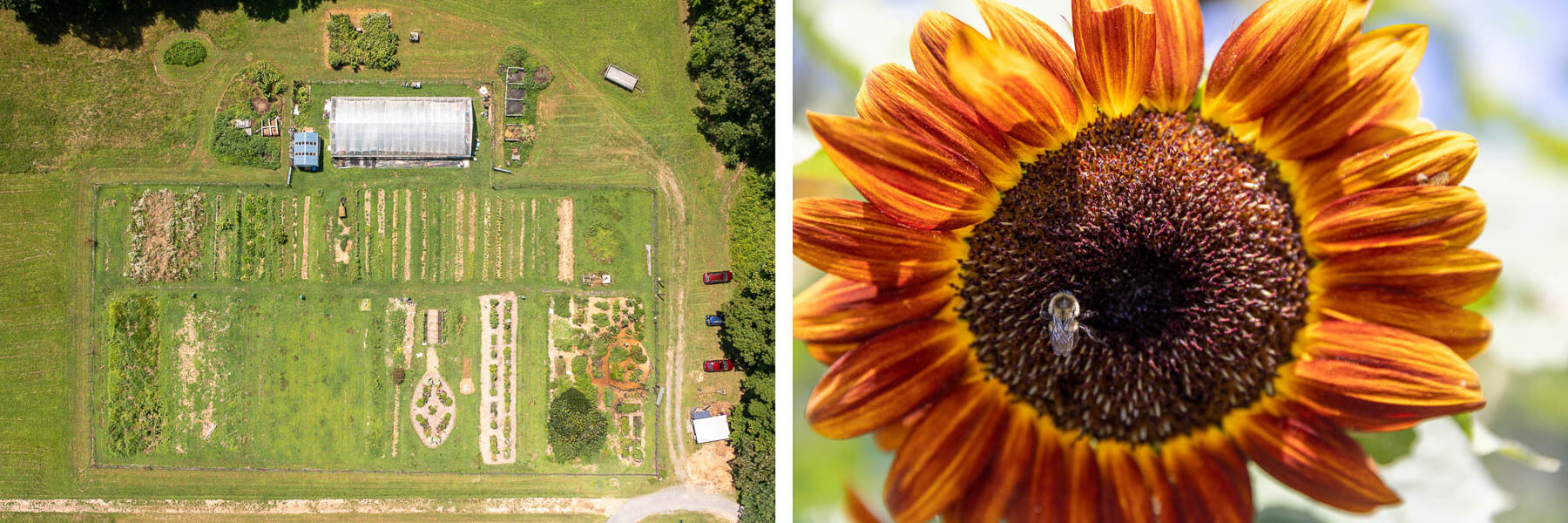 An aerial view of the community farm and a sunflower attracting a bee