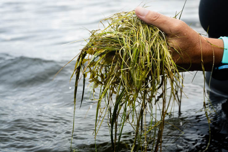 Picture of Acreage of underwater grasses in the Chesapeake Bay decline for second straight year