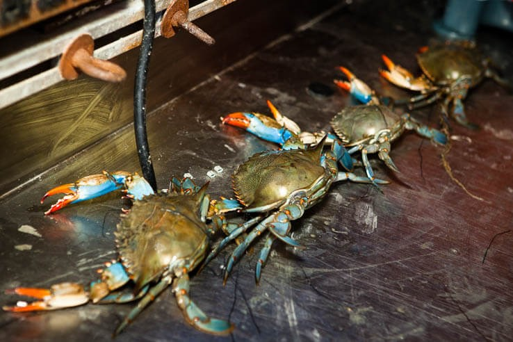 Three blue crabs on metal table