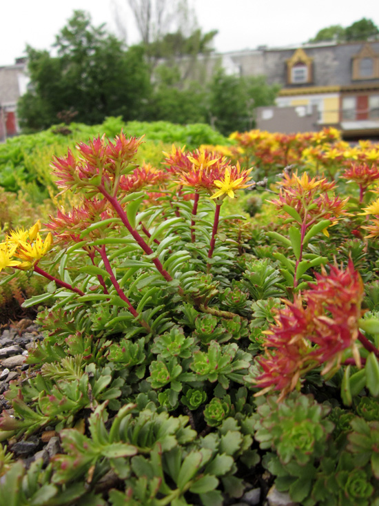 Plants on a green roof in Lancaster. Pa.