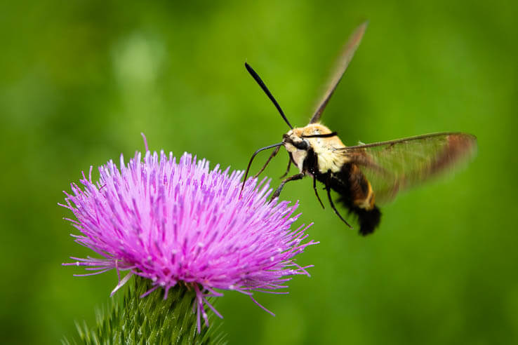 Picture of Clearing up confusion around the snowberry clearwing
