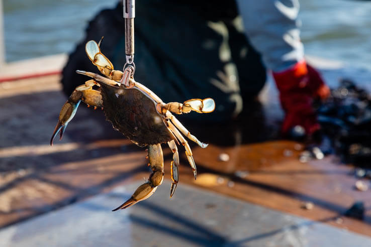 Picture of Chesapeake Bay blue crab population remains healthy and sustainable, despite population decline