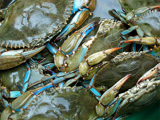 Blue Claw Crab Report Long Island