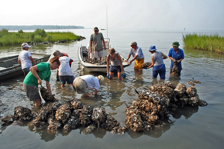 Ten volunteers place large mesh bags of oyster shells to in shallow water near the shore