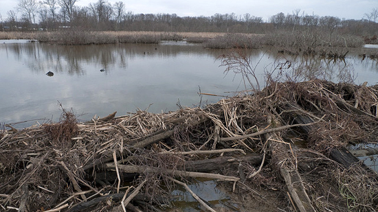 a beaver dam along Beaverdam Creek