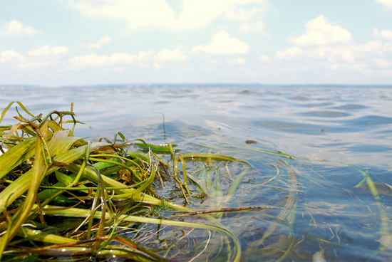bay grasses on Susquehanna Flats