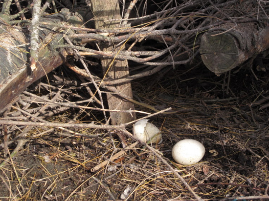 mallard eggs under Christmas trees