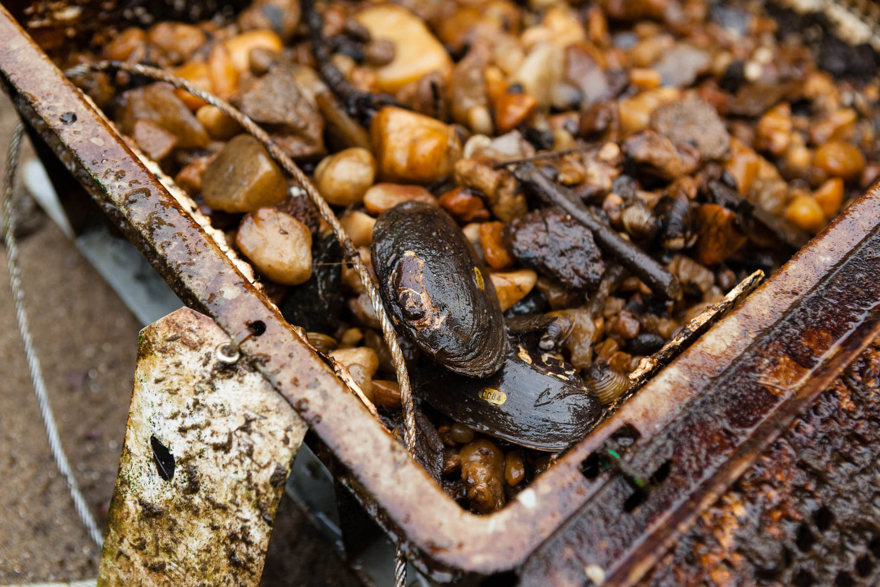 Two mussels rest on the corner of a metal cage, wet from the creek