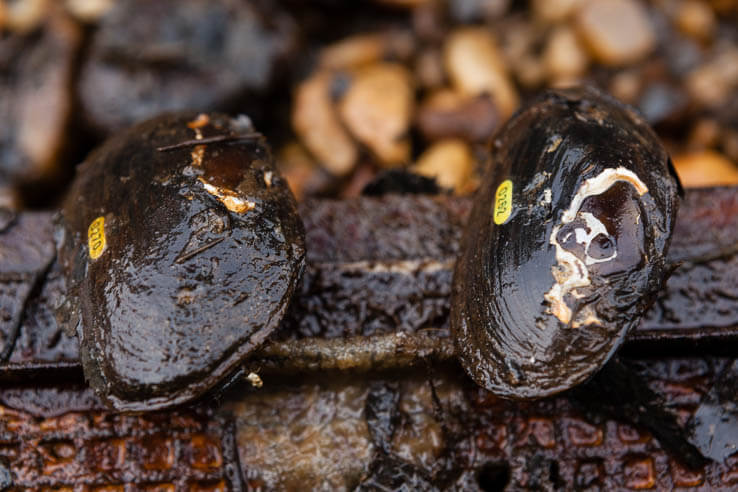 Picture of Researchers give mussels new power