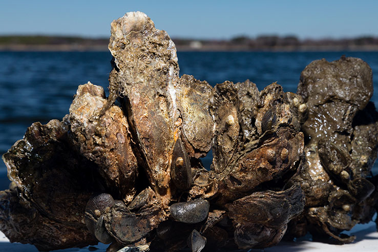 Cump of oysters out of water