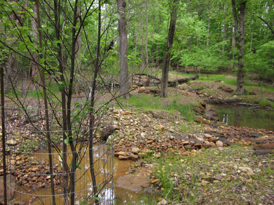 saplings along restored stream