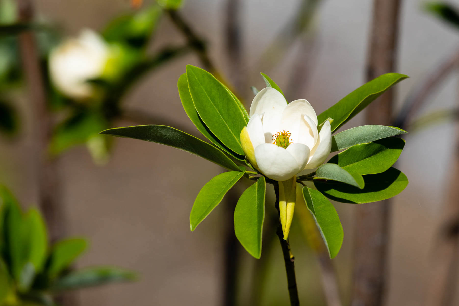 A single white flower sits in the middle of several glossy leaves