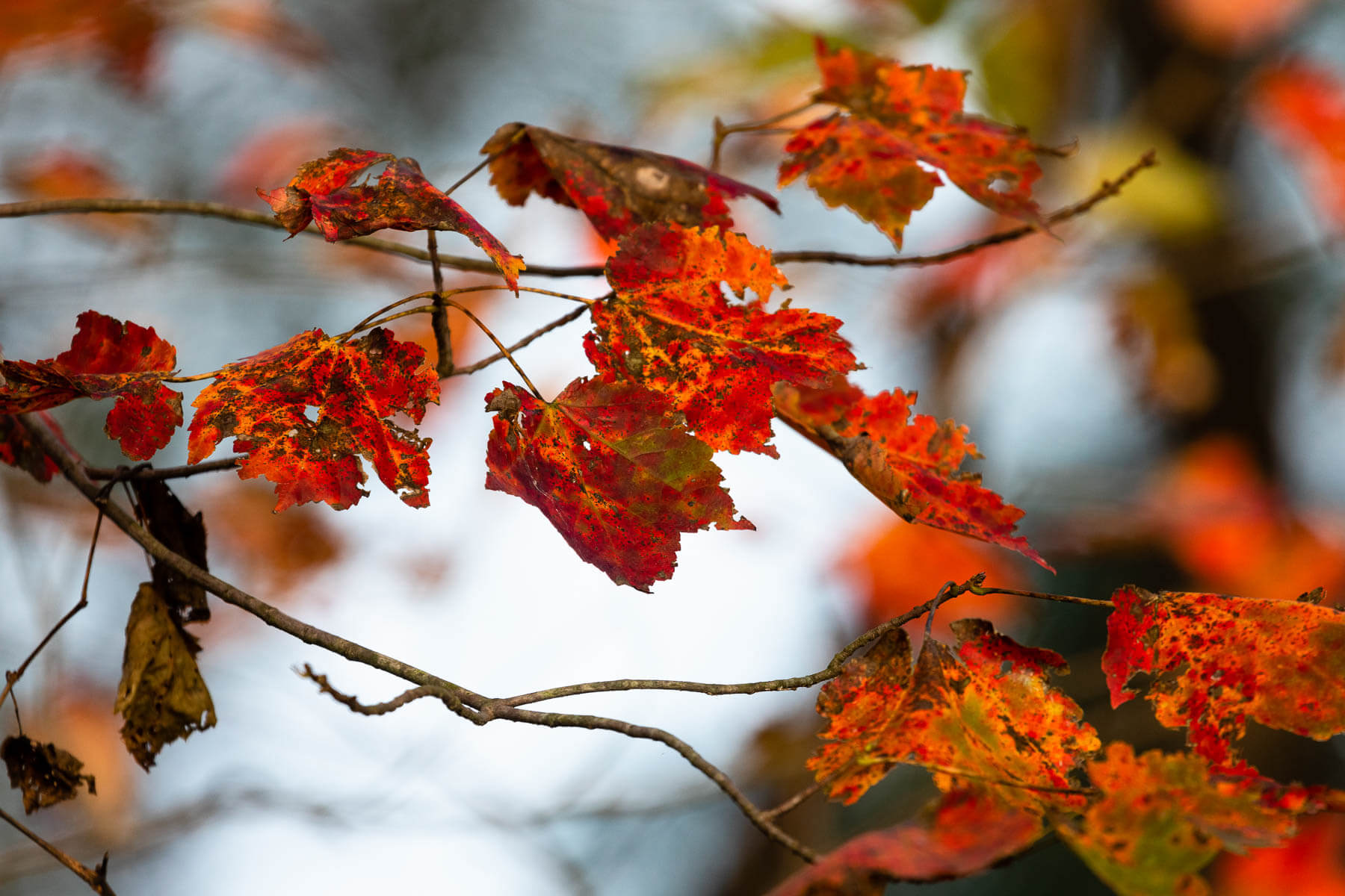 Red-colored maple leaves line a tree branch