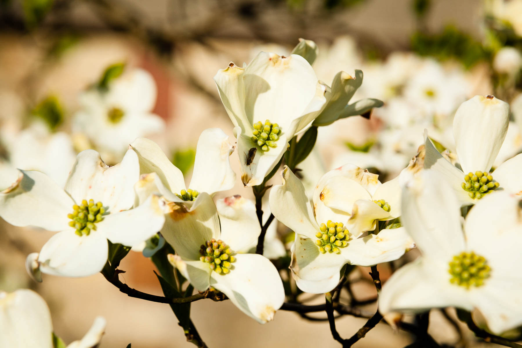 White flowers with thick petals sit close together on a tree branch