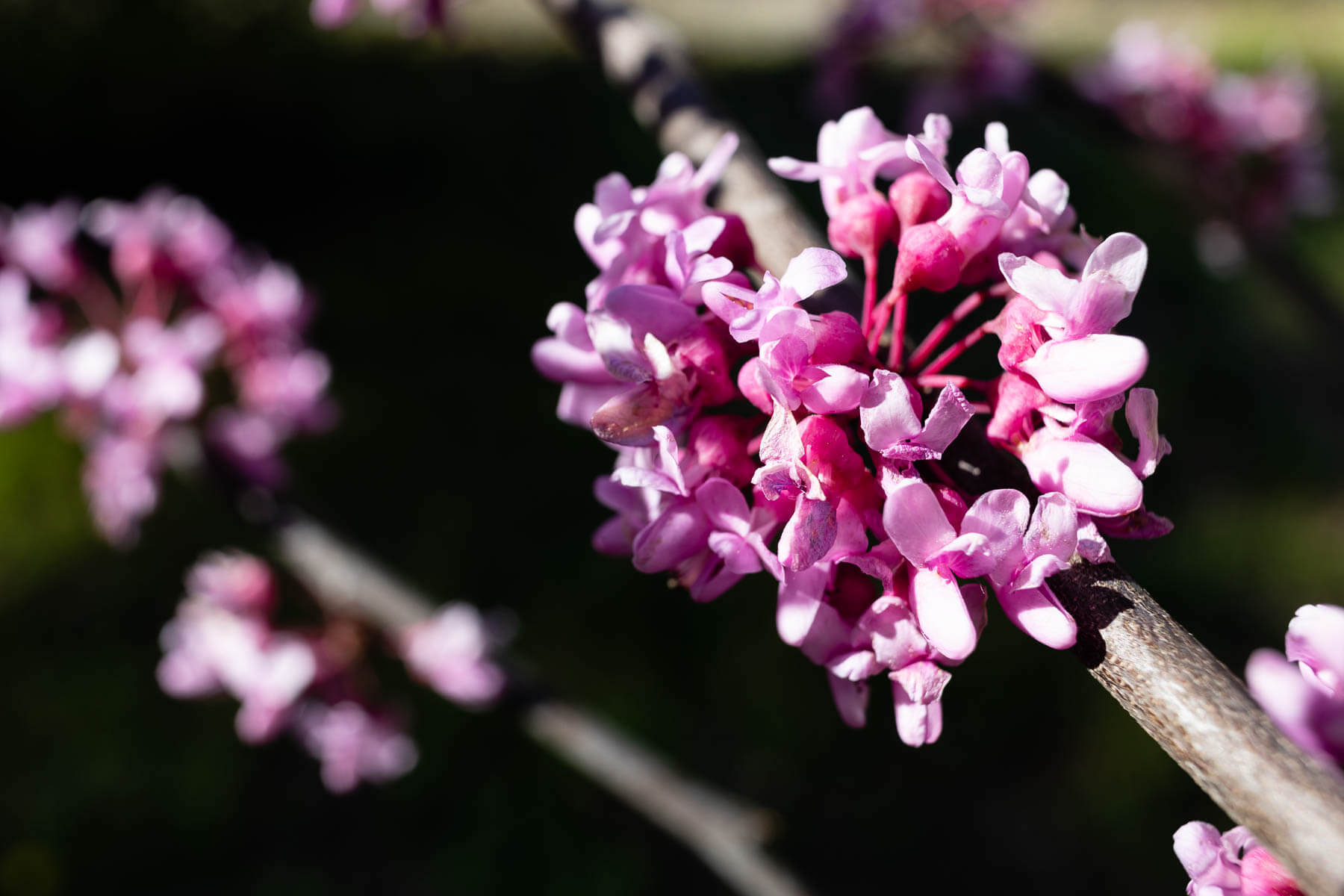 Clusters of pink flowers line several tree branches