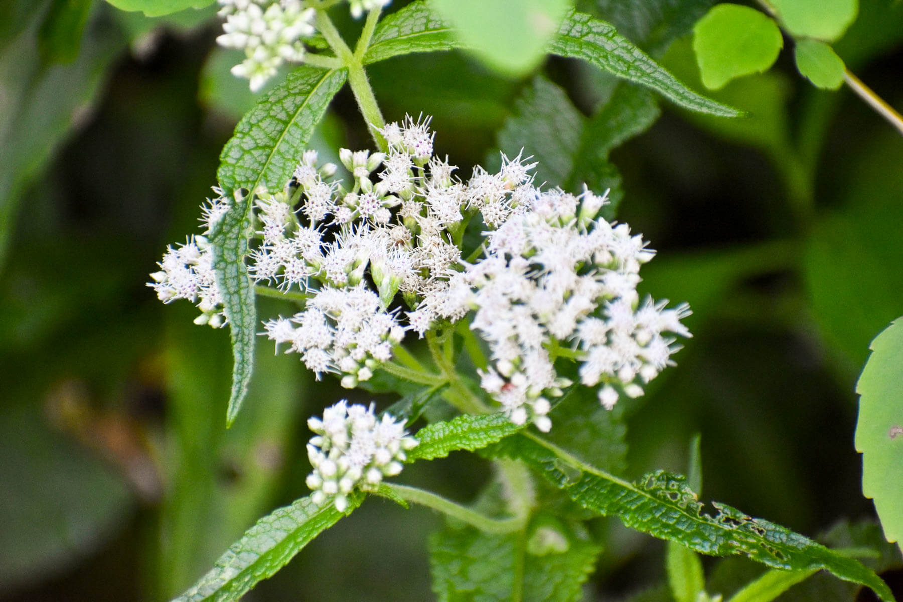 Clusters of small white flowers surrounded by green triangle-shaped leaves