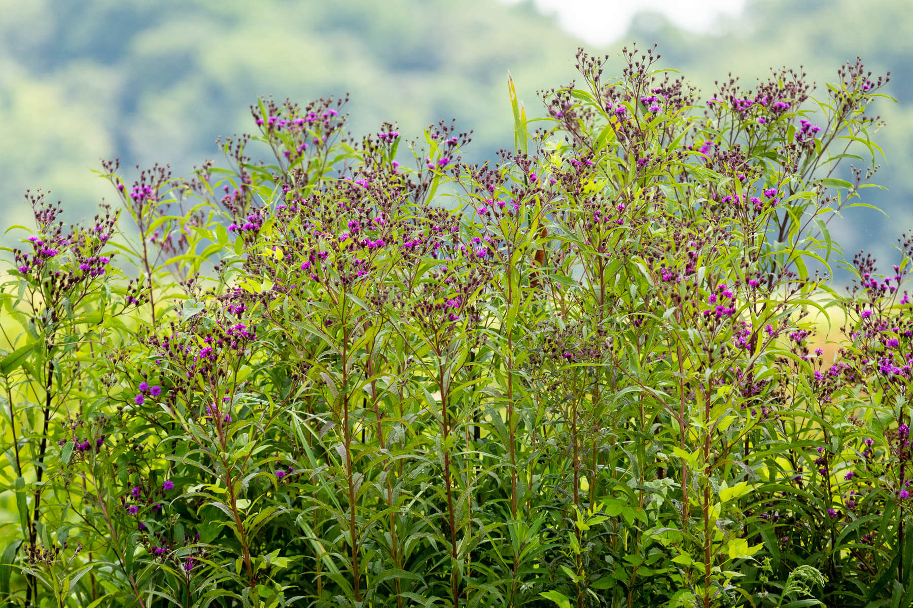 Purple flowers on tall stalks stand in the sun